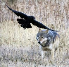 """THE WOLF BIRD   """"Ravens, or """"wolf-birds,"""" seem to form social attachments with wolves. Where there are wolves, there are often ravens (sometimes known as """"wolf-birds""""). Ravens often follow wolves to grab leftovers from the hunt—and to tease the wolves. They play with the wolves by diving at them and then speeding away or pecking their tails to try to get the wolves to chase them."""""""