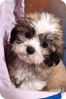 shih tzu poodle mix puppies for sale DOGS I LOVE