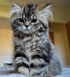 HUG ME !  #cat #kitten #kitty #animal #pets #chaton #chat #animaux #meow Discover other cute photos here => http://fr.yummypets.com/photos/creme