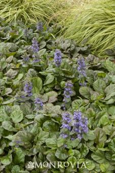 Ajuga Reptans - Bugleflower.Excellent spreading groundcover featuring deep blue flower spikes and attractive foliage. Forms a dense, carpet-like mat, even in shady areas! Evergreen
