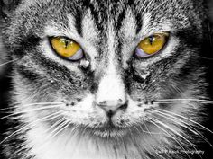 Golden Eyes Cat
