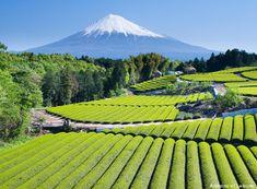 Mt. Fuji watches over a tea plantation. Via www.artisansofleisuretraveler.com.