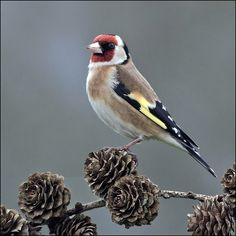 Goldfinch - Carduelis carduelis by Norman West on Flickr.
