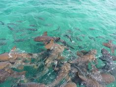 Shark Ray Alley in Hol Chan Marine Reserve on the Mesoamerican Barrier Reef, Belize