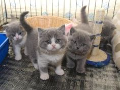 omg look at these little british shorthair babies! love!