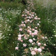 David Austin, you're killing me. (This is 'Queen of Sweden', and of course now I must grow this one, too.)