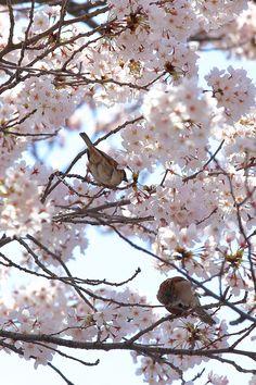 Sparrow & Cherry blossom by Yoshihiro Ogawa