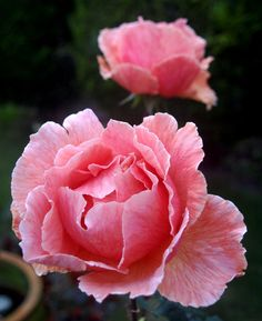 'Just Joey' | Hybrid Tea Rose. Cants of Colchester (United Kingdom, 1972)| Flickr - © dublintimmy