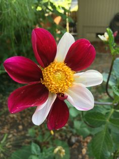I love the way these dahlias have two colors. So fun!