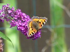 Butterfly and Budlia, my garden