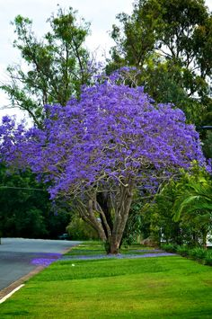 Jacaranda mimosifolia is a sub-tropical tree native to South America that has been widely planted elsewhere because of its beautiful and long-lasting blue flowers.