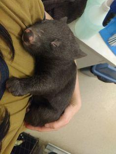 Three orphaned wombats live at Amaroo Wildlife Shelter in Victoria, Australia. Cute Wombat, Cute Baby Animals, Funny Animals, Wild Animals, Smiling Animals, Farm Animals, Sleeping Alone, Australia Animals, Capybara