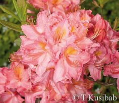 Rhododendron Pink Delight