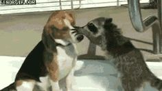 New trending GIF on Giphy. animals dog cute raccoon investigate. Follow Me CooliPhone6Case on Twitter Facebook Google Instagram LinkedIn Blogger Tumblr Youtube