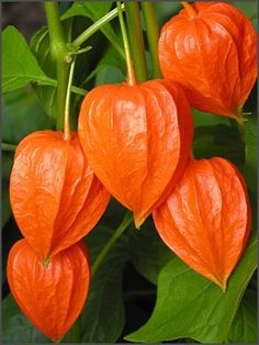 Japanese Lantern Plant - tends to spread in a big circle; best to grow in a sunken pot!