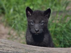 Kleiner Timberwolf auf Tour...   ...und dann liegt da einfach so ein dicker Stamm hinter dem man sich wunderbar verstecken kann...   WP Lüneburger Heide/ Nindorf