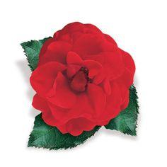 Róża pnąca czerwona - Rosa 'Paul`s Scarlet Climber'