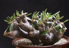 Pachypodium Rare Cactus Caudex Succulent Plant Madagascar