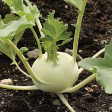 Growing Kohlrabi from Seeds - How to Grow Kohlrabi from Seed - West Coast Seeds Garden Gnomes, Growing Veggies, Herb Seeds, Organic Vegetables, Planting Seeds, Compost, The Great Outdoors, West Coast, Gardens