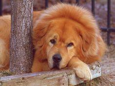 Record : un Mastiff du Tibet vendu 1,4 millions d'euros