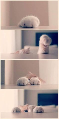 The Funny Side Of Cat Paws (Memes And Photos) - World's largest collection of cat memes and other animals Cute Cat Gif, Cute Funny Animals, Cute Baby Animals, Animals And Pets, Cute Cats And Kittens, Baby Cats, I Love Cats, Kittens Cutest, Beautiful Cats
