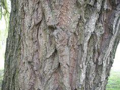 chorão, salgueiro-chorão, salso-chorão - Salix babylonica