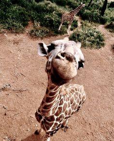 Just a fun giraffe Baby Animals Super Cute, Cute Little Animals, Cute Funny Animals, Baby Animals Pictures, Cute Animal Pictures, Animals And Pets, Farm Animals, Cute Puppies, Cute Dogs