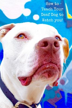 """Deaf dogs """"listen"""" with their eyes. If he's not looking at you, then he can't """"hear"""" you when you sign to him. Here's how to teach your deaf dog to watch you!"""