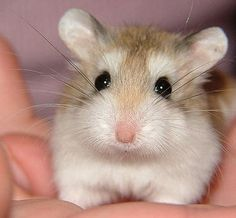 cute fuzzy hammy.