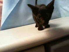 Miami Dade Animal Services, Miami, FL JARY (A1711595) I am a male black Domestic Shorthair.  The shelter staff think I am about 13 weeks old.  I was found as a stray and I am available for adoption.