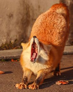 Fantastic Fox, Fabulous Fox, Fox Pictures, Happy Pictures, Cute Little Animals, Little Fox, Wolf Hybrid, Fox Spirit, Fox Now