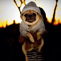 Every pug looks instantly cuter in a hoodie