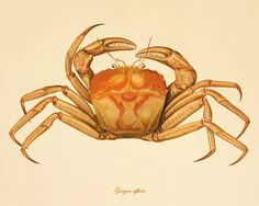 Crab art print Vintage old prints Nautical art print Ocean Decor Natural History…
