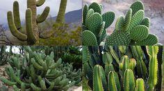 Dikenli görüntüleri ile bilinen bitkinin botanik dünyasındaki ismi kaktüsgillerdir. Kaktüsler gövde biçimi açısından sulu ve etli bir görüntüye sahiptir, şekil olarak da yassı ve uzun görüntüleri bulunmaktadır. Bu bitki tropik iklimlerde ve çöllerde yetişmektedir, bu tarz bölgelerde yetişmesinin en büyük sebebi suya ihtiyaç duymamasıdır. Kaktüsler uzun kökleri olan bitkilerdir, bu kökleri ile toprak içinden gerekli olan tüm vitamin ve mineralleri kolay bir şekilde alabilirler.