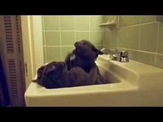Two Funny Cats Fight in the Sink -  #animals #animal #pet #cat #cats #cute #pets #animales #tagsforlikes #catlover #funnycats Our two hilarious 6 month old kittens having a go in the sink.  - #Cats