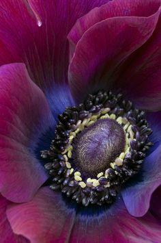 Purple Flower by julies517... {anemone}