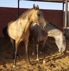 YEGUA PSL BAYA PREÑADA DE SEMENTAL PERLINO Horses, Animals, Horses For Sale, Equestrian, Animales, Animaux, Horse, Words, Animal