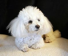 a toy poodle, like my little Judy... but maybe in black like Gigi.