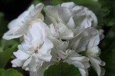Pelargonium Deacon Arlon
