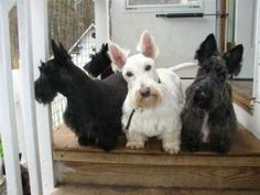 Missy, Willy and Foxy is an adopted Scottish Terrier Scottie Dog in Rockaway, NJ. We have 3 of the most lovely scotties that came into our rescue group together from the same home when their owner fel...