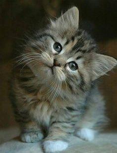 """cuteandadorable: """"So adorable kitten """""""