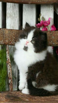 Cats - Black and white Persian kitten.