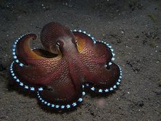 Amphioctopus marginatus, also known as the coconut octopus and veined octopus