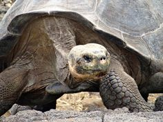 Giant Tortoise on the Galapagos Islands, part of the Big Five