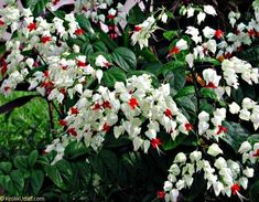 Bleeding heart Plant is a Very rare cultivar & hard to find. One of the most spectacular blooming vines or plants also known as Clerodendrum Thomsoniae learn more about it's care and how to grow it! Rare Flowers, Most Beautiful Flowers, Beautiful Gardens, Pink Flowers, Tropical Garden, Tropical Plants, Tropical Vibes, Hanging Plants, Indoor Plants