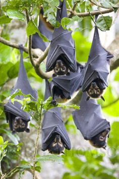 Adorable! Spectacled Flying Foxes (Spectacled Fruit Bats) Australia
