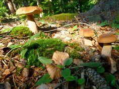 Masliaky - mushrooms in Slovakia