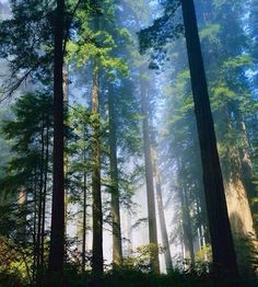 Trees in the forest in the Fog