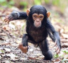 Aw! A Baby Chimp!