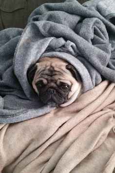 13 dog burritos that look very, very cozy